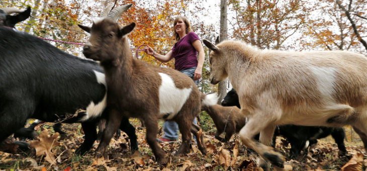 Goats more than living lawn mowers to Chesterfield woman